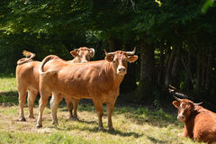 French Tarentaise dairy cattle Royalty Free Stock Photo