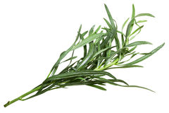 French tarragon Artemisia dracunculus, paths. Fresh French Tarragon Artemisia dracunculus. Clipping path, top view stock images