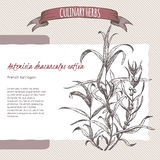 French tarragon vector hand drawn sketch. Stock Image