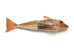 French tub gurnard Stock Photography