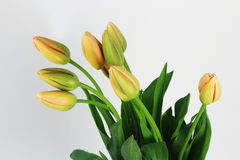 French Tulips flowers on the white background Royalty Free Stock Photography