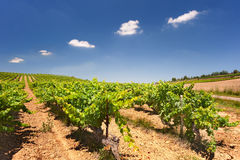French Vineyard. Vineyard in full sun with a row of fluffy white clouds in a blue sky Stock Photo