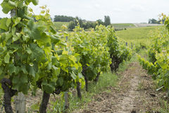 French vineyard. Photo of a french vineyard in Sauternes Stock Photo