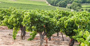 French vineyard. View of a French vineyard with black grapes Stock Image