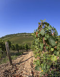 French vineyard Royalty Free Stock Photography