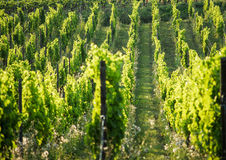 French vineyard Royalty Free Stock Photos