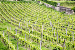 French vineyards. View of a French vineyards in Saint Emilion in the Bordeaux region Royalty Free Stock Image