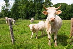 French white cows Stock Image