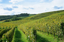 French Winery. Jurancon grape vines grow in neat rows in the Pau region of France near the Pyrenese Royalty Free Stock Image