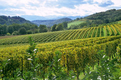 French Winery in the Pyrenese. Jurancon grape vines grow in neat rows in the Pau region of France near the Pyrenese Royalty Free Stock Photos