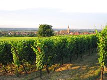 French wineyard in alsace Royalty Free Stock Photos