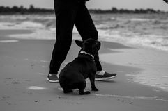 Frenchie Fotografia de Stock Royalty Free