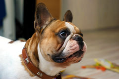 Frenchie royalty free stock photo