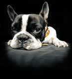 Frenchie is looking at you Stock Image