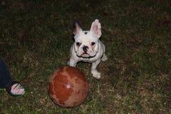 Frenchie playing basketball. French bulldog having stock images