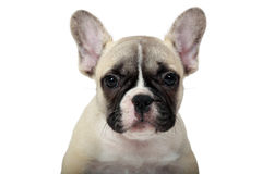 Frenchie Puppy Stock Image