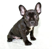 Frenchie Puppy Royalty Free Stock Photos