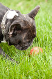 Frenchy and the ball. French bulldog reaching for a ball in the grass. Red ball in green grass Stock Photos