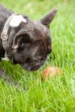 Frenchy e la palla fotografie stock