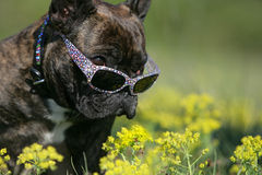 Frenchy with sunglasses. Portrait of a young brown French bulldog with sunglasses Royalty Free Stock Photo