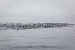 Frenesí de alimentación de la vaina del león marino en el mar tranquilo Imagenes de archivo