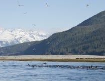 Frenesí de alimentación de la primavera en Alaska suroriental imagenes de archivo