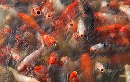 Frenesi för Koi fiskmatning Royaltyfria Foton