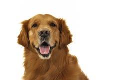 Frente de la cara del perro del perro perdiguero de oro. Fotografía de archivo