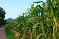Frente del campo de maíz del cielo azul Tailandia Asia de la colina Foto de archivo