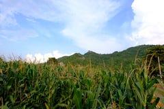 Frente del campo de maíz de la colina Tailandia Asia Foto de archivo libre de regalías