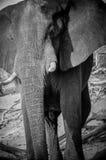 Frente del elefante Imágenes de archivo libres de regalías