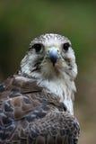 Frente del halcón de Gyr Fotos de archivo