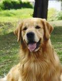 Frente del perro perdiguero de oro Foto de archivo libre de regalías