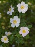 Frente rosado hermoso de las flores de los días de primavera de las hojas verdes fotos de archivo
