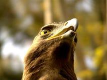Frente verdadero del águila Fotos de archivo