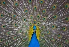 Frente y centro del pavo real Fotografía de archivo libre de regalías
