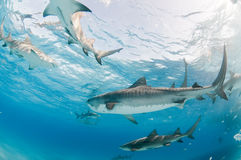 A frenzy of sharks Stock Photos