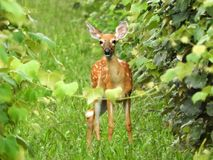 Deer fawn wanders through vineyard on Keuka Lake. A frequent visitor to vineyards, deer can be seen wandering amongst the growing vines during growing season royalty free stock photo