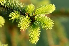 Fres spruce at the spring stock image