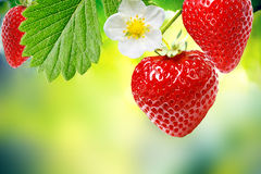 Fresa de jardín fresca Imagen de archivo