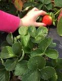 Fresa de la cosecha del niño Foto de archivo