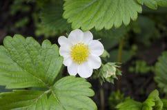 Fresa de la flor Fotografía de archivo libre de regalías