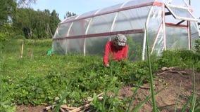 Fresa de la mala hierba de la mujer cerca del invernadero Trabajo del verano de Seasanol Fotos de archivo