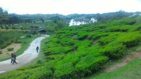 Fresa de la planta de té en el parque tecnológico agro en MARDI Cameron Highlands Malaysia Foto de archivo