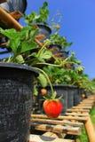 Fresa en el jardín Fotos de archivo