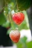 Fresa en el jardín Foto de archivo