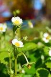 Fresa floreciente fotografía de archivo libre de regalías