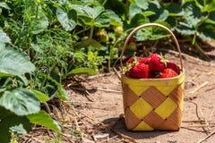 Fresa madura dulce en una cesta en una plantación foto de archivo