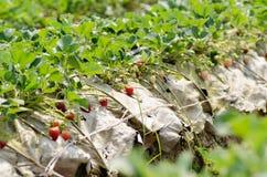 Fresa orgánica Foto de archivo libre de regalías