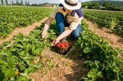 Fresa que cosecha el hombre con una cesta de fresas Fotografía de archivo